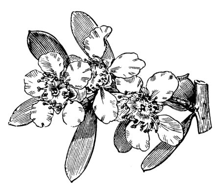 Leptospermum Laevigatum is a flowering plant and the picture shown is its flowering branch. It blooms between April and October producing white flowers, vintage line drawing or engraving illustration. Illusztráció