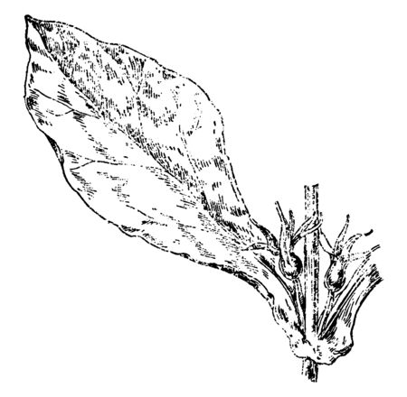 A picture is showing Feverwort, also known as Triosteum perfoliatum. It belongs to Honeysuckle family, Caprifoliaceae, Native to North America and Asia, vintage line drawing or engraving illustration.