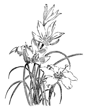 A picture of Zephyranthes Candida flowers. It is one of more than seventy species in the Amaryllis family, vintage line drawing or engraving illustration.