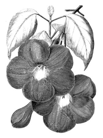 This Bignonia Magnifica plant has dense foliage, and the ovate shaped leaves. Flowers funnel shaped and with five petals, vintage line drawing or engraving illustration.