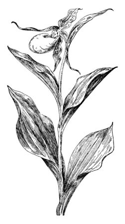 Yellow ladys-slipper may refer to any of three yellow orchids from the genus Cypripedium: Cypripedium Calceolus, vintage line drawing or engraving illustration. Ilustracja