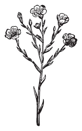 A picture is showing Flax, it also known as Linseed. It belongs to Linaceae family. This is a basic crop grown in the coldest parts of the world. Flowers are pure pale blue with five petals, vintage line drawing or engraving illustration.