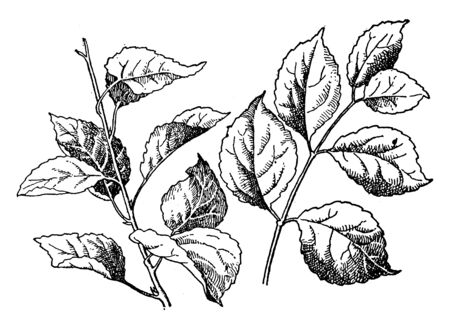 Leaves attach to stem, but some leaf attach same level around and some leaf attach different level, the leaves are arranged opposites, vintage line drawing or engraving illustration.