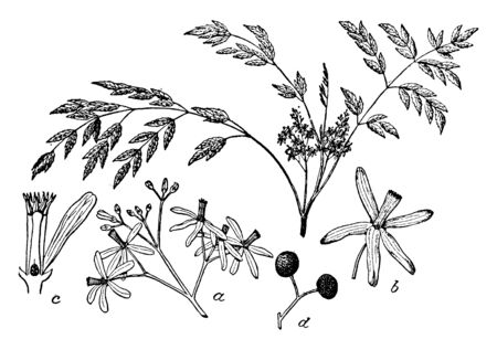 The floral bud in this frame is the fruit that is formed from the flower and the flowers formed from them. This is a process of fruit making, vintage line drawing or engraving illustration. Ilustração