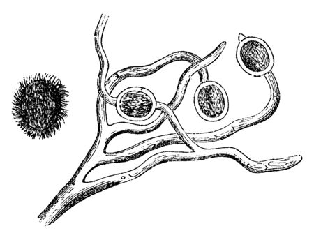 This is an image of Fungus and its spore. Fungi grow from the tips of filaments and it does not photosynthesise, vintage line drawing or engraving illustration.