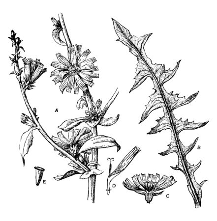 Common Chicory is annual or biennial plant. It is native to Europe and is also found in North America and Australia, vintage line drawing or engraving illustration. Ilustracja
