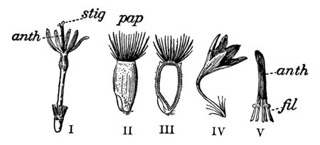 A picture describing the different parts of a cornflower, vintage line drawing or engraving illustration.