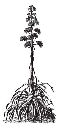 Century Plant is mostly found in North American. It is blooms every 80-100 years, vintage line drawing or engraving illustration. Stockfoto - 132824728