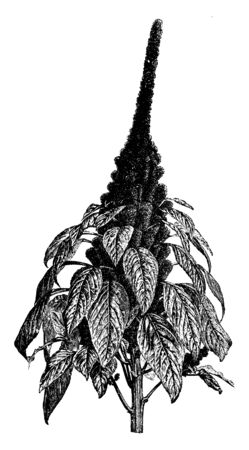 A picture shows Amaranthus Hypochondriacus Plants. It is an ornamental plant commonly known as Prince-of-Wales feather or princes-feather. The flowers are deep crimson & leaves are purplish in color, vintage line drawing or engraving illustration.