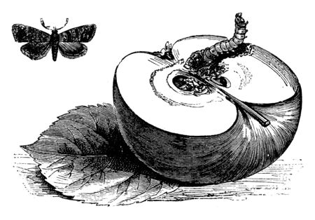 The half-apple in this frame is coming out of the worm. A moth that looks like a butterfly is formed from that worm, vintage line drawing or engraving illustration.