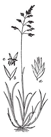 This pictures showing Kentucky grass ,roots are short and thin, stems is long, blades long and thin blade attached to stems, flowers grow upper side of grass, Two to six flowers grow in this grass, vintage line drawing or engraving illustration.