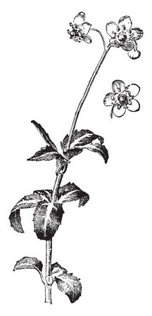 The image shows a Chimaphila Maculata plant also known as pipsissewa. It has white flowers. The stems emerge from creeping rhizomes. There are two to five flowers per stem, vintage line drawing or engraving illustration.