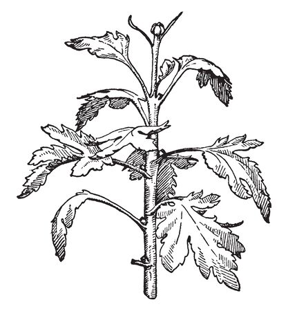 A main, upper, or apical bud on a stem or branch; especially the first flower bud to form on a chrysanthemum plant or, if the first is removed, the second such bud, vintage line drawing or engraving i