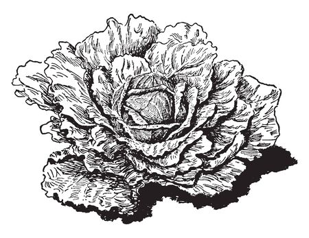 This is image of Flat Dutch Cabbage which is source of vitamin C. The plant is 18 inches tall and 24 inches wide, vintage line drawing or engraving illustration.