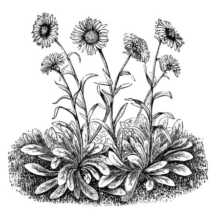 Flowers grown on stem and stem are very long. Leaves attach to stem and some leaves grow on ground based, vintage line drawing or engraving illustration.