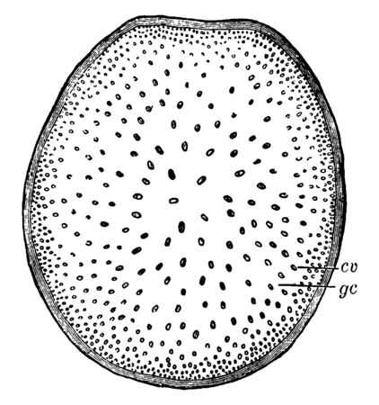 This is image cross-section of stem of Indian corn where cv, fibro-vascular bundles; gc, pithy material between bundles, vintage line drawing or engraving illustration.
