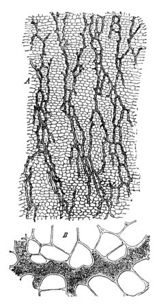 A picture showing the Laticiferous vessels from the cortex of root of Scorozonora Hispanica, vintage line drawing or engraving illustration.