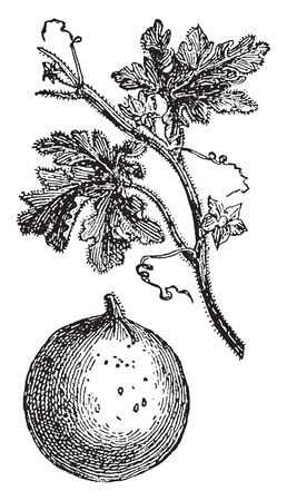 A picture shows Bitter Apple. Citrullus colocynthis, with many common names including colocynth, bitter apple, bitter cucumber, desert gourd, Egusi, vine of Sodom, or wild gourd, is desert viny plant, vintage line drawing or engraving illustration.