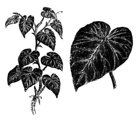 This picture is showing Philodendron verrucosum plant. It is species of Araceae family, found in Costa Rica, Panama, Colombia, Ecuador and Peru. The leaves are in heart shape, vintage line drawing or engraving illustration.