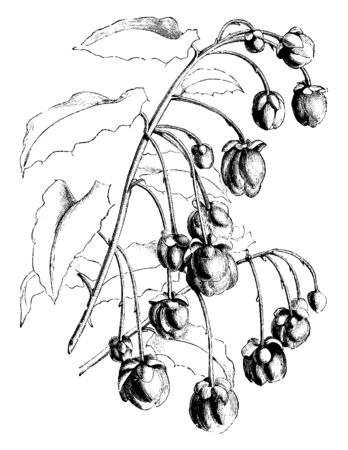 The plant flowers are hanging on branch. The plant leaves are heart shaped and dark green, vintage line drawing or engraving illustration.