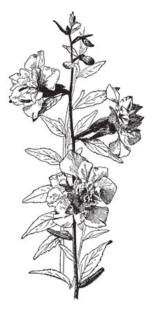 Picture of Clarkia Elegans plant. It is showing its flowers and leafs section. Flowers have 10 to 12 petals. Leafs are small and have ovate shape, vintage line drawing or engraving illustration.