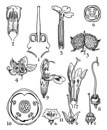 In this picture are flowers of the order boraginaceae, verbenaceae, labiatae, and nolanaceae, vintage line drawing or engraving illustration.