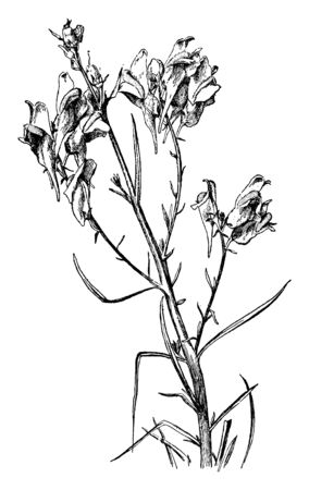 It is showing Blooming of Toad-flax which is known as Linaria vulgaris normal & some abnormal flowers without spurs, vintage line drawing or engraving illustration. Stock Vector - 132825516