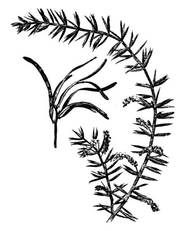 The leaves get a regular needle shape, the wide leaves versus the shape, glower arranged on branch, vintage line drawing or engraving illustration.
