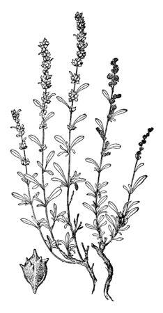 A picture showing the plant of Nuttalls Salt Sage. Nuttalls Salt Sage also known as Atriplex Nuttallii, vintage line drawing or engraving illustration.