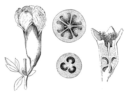 Punica Granatum is grown for its fruit crop, and as ornamental trees and shrubs in parks and gardens, vintage line drawing or engraving illustration.