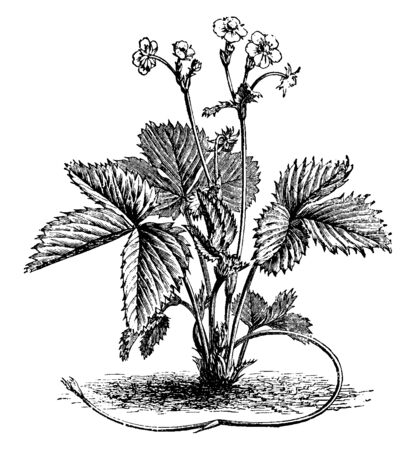 This is the plant of Wild Strawberry. It has flowers at its apex. Leaves are deep-sharp and having lines on it. It looks like a creeper, vintage line drawing or engraving illustration. Illusztráció