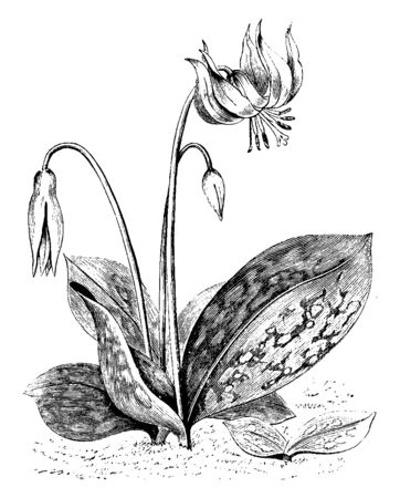 A picture is showing Large White Variety of Erythronium Dens-Canis, also known as Dogs Tooth Violet. It belongs to Liliaceae family. It is native to Europe. Flowers are solitary white, pink or lilac, vintage line drawing or engraving illustration.