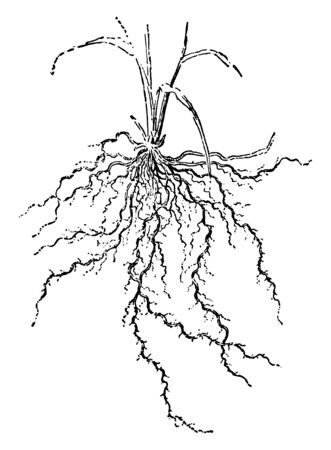 This picture showing fibrous roots. It is very thin just like a hair, it is long and dense, vintage line drawing or engraving illustration. Illustration