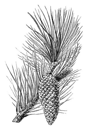 Pinus Pinaster is an evergreen tree, grows in Mediterranean climate. The leaves are broad, bluish-green to yellowish-green. The cones are conic in shape and are yellowish brown in colour, vintage line drawing or engraving illustration.