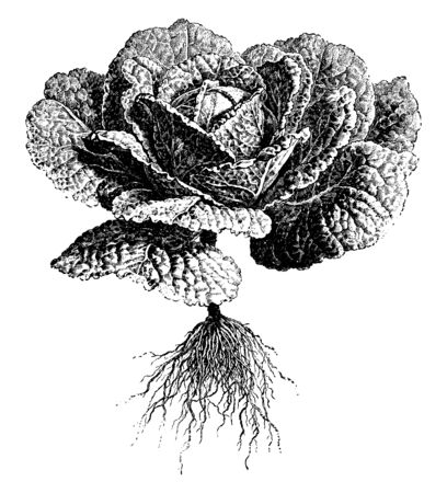 This is savoy cabbage. It has green and crinkled leaves. The leaves are crunchy and tender. Savoy cabbage is used in cooking. Savoy cabbage is a winter vegetable, vintage line drawing or engraving illustration. Ilustrace