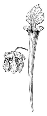 This is flower part of the pitcher plant family. Its shape is like Trumpets, vintage line drawing or engraving illustration.