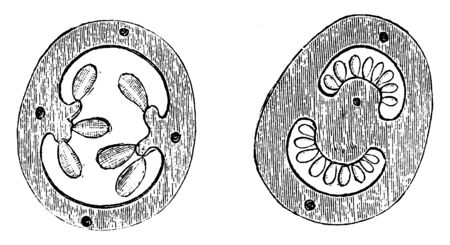This is the Cross Section of Ovary of Flower of Gooseberry and Potato. it shows the ovary generation process from ovule one of the ovary is circular shaped and other is egg-shaped, vintage line drawing or engraving illustration.
