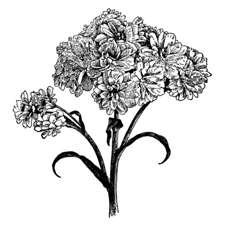 The Picture Showing Variation the Pearl of Achillea Ptarmica flowering plant, vintage line drawing or engraving illustration.