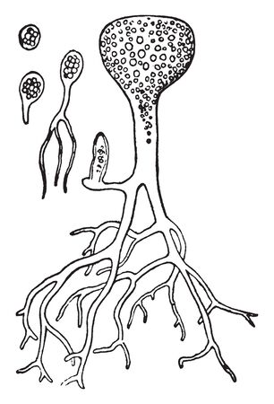 In this image plant is full grown. roots are long and thin it full grow, vintage line drawing or engraving illustration.