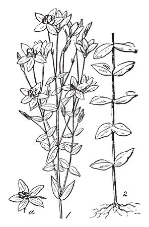American Centaury is erect biennial herb. The flowers are white, vintage line drawing or engraving illustration.
