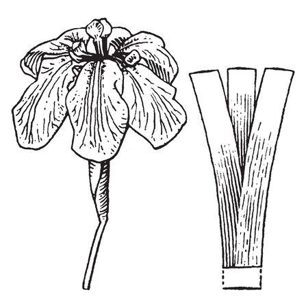 The flowering stalks are either un-branched or sparingly branched and up to 3' tall; they are green. Each stalk produces one or more small alternate leaves that are erect and sword-like, vintage line drawing or engraving illustration.