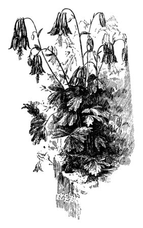 A picture shows Aquilegia Canadensis.It is an herbaceous perennial native to woodland & rocky slopes, prized for its red & yellow flowers. It readily hybridizes with other species in genus Aquilegia, vintage line drawing or engraving illustration.