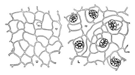 This is Leaf Epidermis and it contains opening stomate and Guard cells are present. Inside the stomata T-piece at stomatal pole is present. At center stomatal aperture are present, vintage line drawing or engraving illustration.