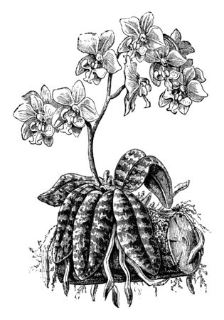 This picture is represents Phalaenopsis Schilleriana its a species of Philippines lilac flowers are grows on it which are in rosy color, vintage line drawing or engraving illustration.