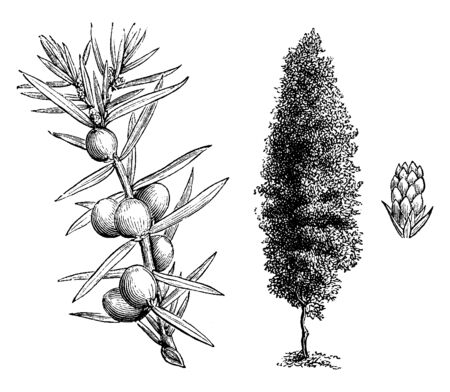 The Irish juniper is also known as juniperus communis hibernica.This plant growth is like column shaped, the branches are erect with numerous, rigid, closet set branchlets, vintage line drawing or engraving illustration.