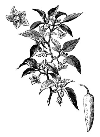 A tropical plant of the genus Capsicum bearing peppers. Peppers are the hollow fruit of this plant that is usually green when unripe and red or yellow when ripe, vintage line drawing or engraving illustration.