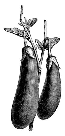 This is a vegetable of eggplant. It is long and thick. It is attached to branch and leaves. Upper side is Thorny. Leaves are small. It is a type of vegetable, vintage line drawing or engraving illustration.