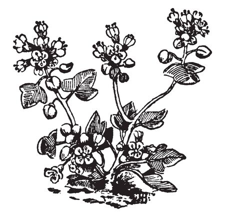 Cochlearia danica or Danish scurvygrass is a flowering plant of the genus Cochlearia in the family Brassicaceae, vintage line drawing or engraving illustration.