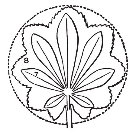 The Leaves are Palmately Compound with Seven leaflets. And type of Circular, vintage line drawing or engraving illustration.