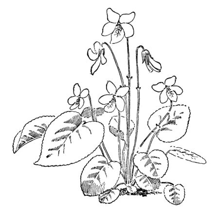 The flowers of Viola Blanda are tilted and bent downwards. The heart shaped leaves have increased with long stalk, vintage line drawing or engraving illustration. Imagens - 132826356